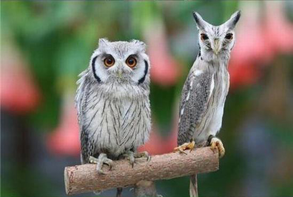 Northern-White-faced-Owl02