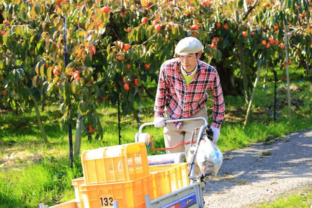 【やまぶき】堀うち農園の完熟たねなし柿