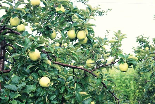 杉山農園のりんごジュースのセット