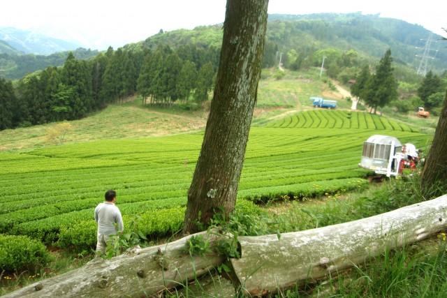 【朝顔】有機緑茶ティーパック